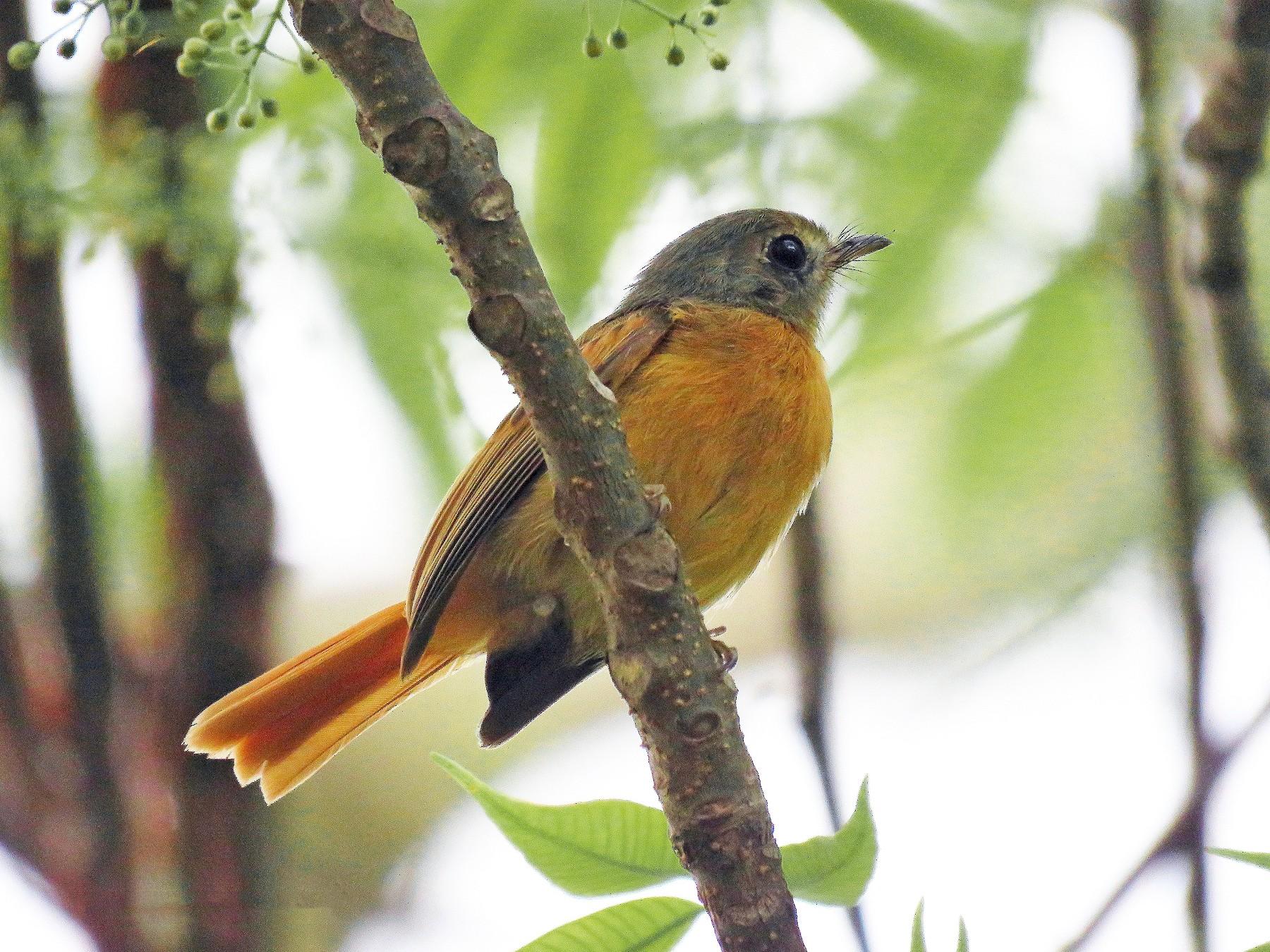 Ruddy-tailed Flycatcher - Rolando Jordan