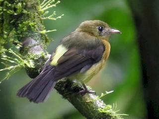 - Sulphur-rumped Flycatcher