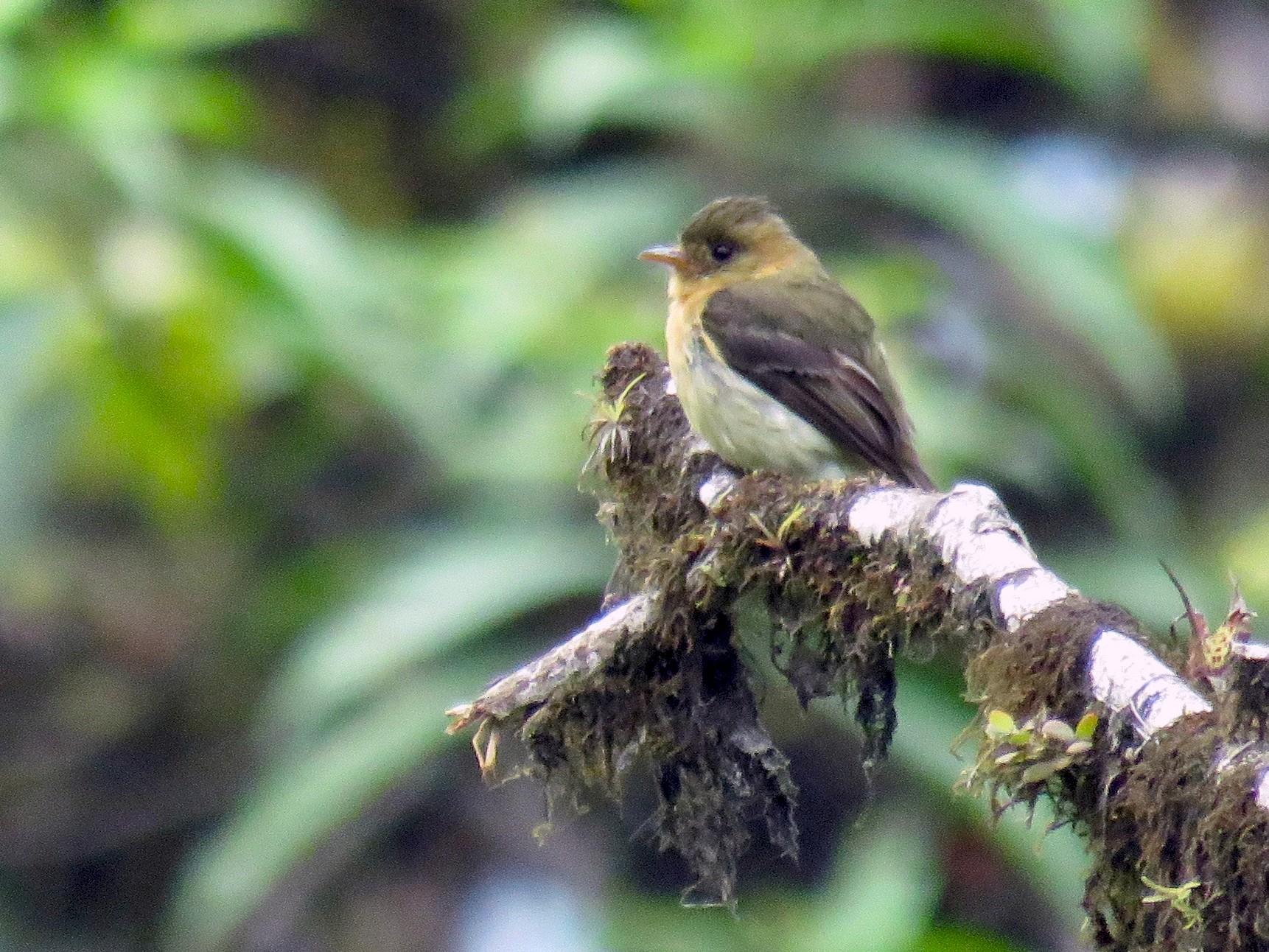 Tufted Flycatcher - John van Dort