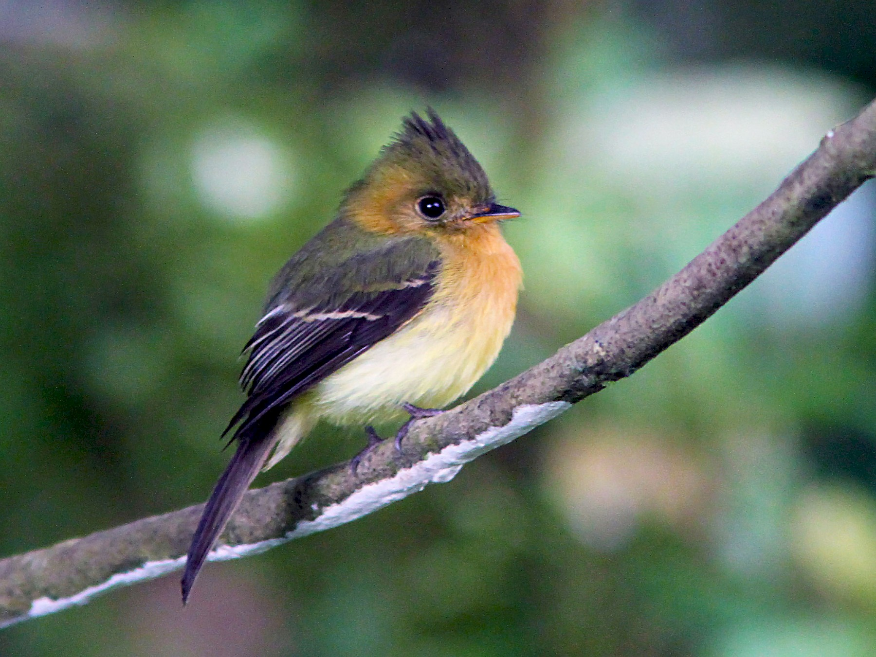 Tufted Flycatcher - Bradley Hacker