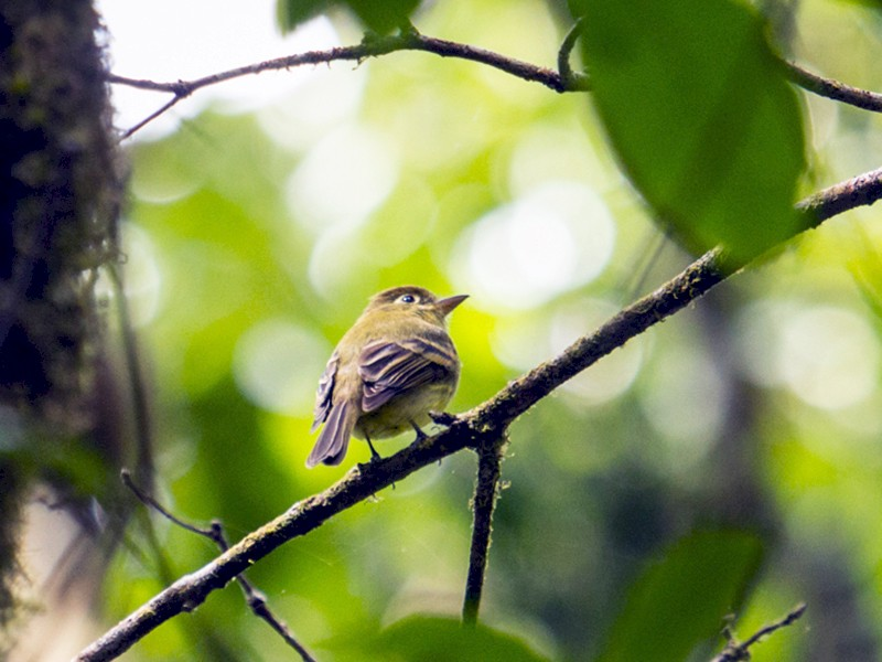 Yellowish Flycatcher - Louise Auclair