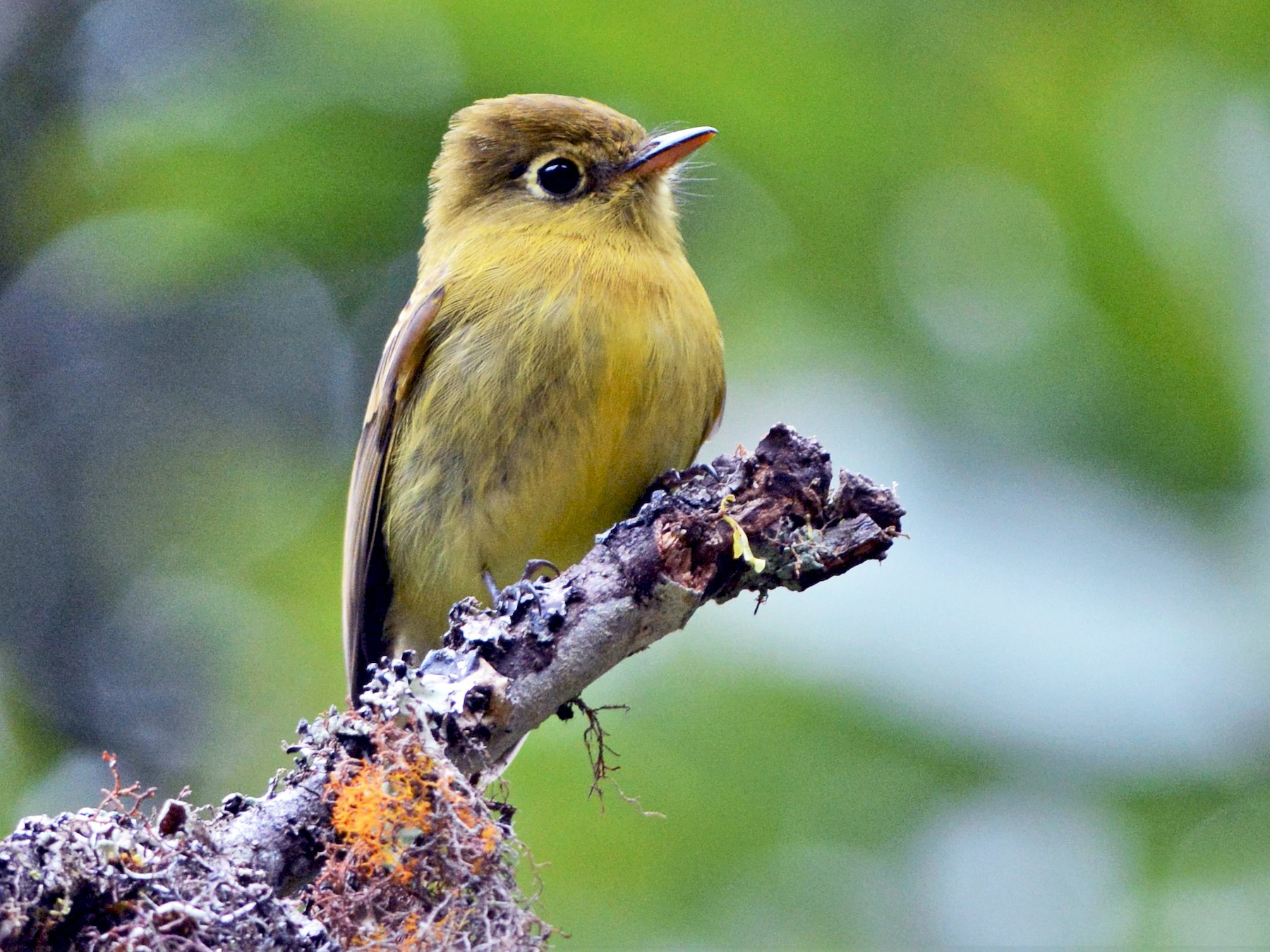 Yellowish Flycatcher - David Hollie