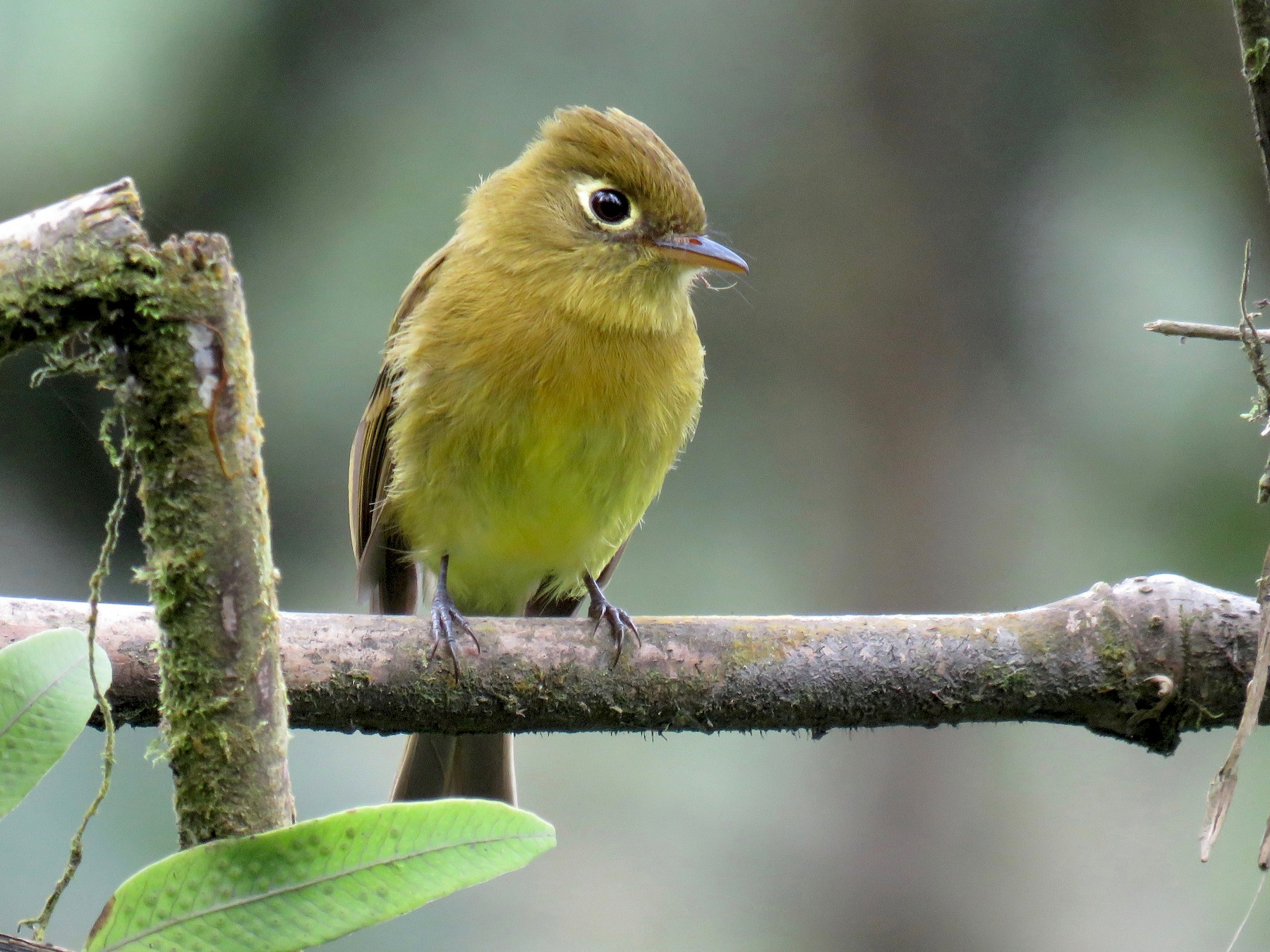 Yellowish Flycatcher - John van Dort