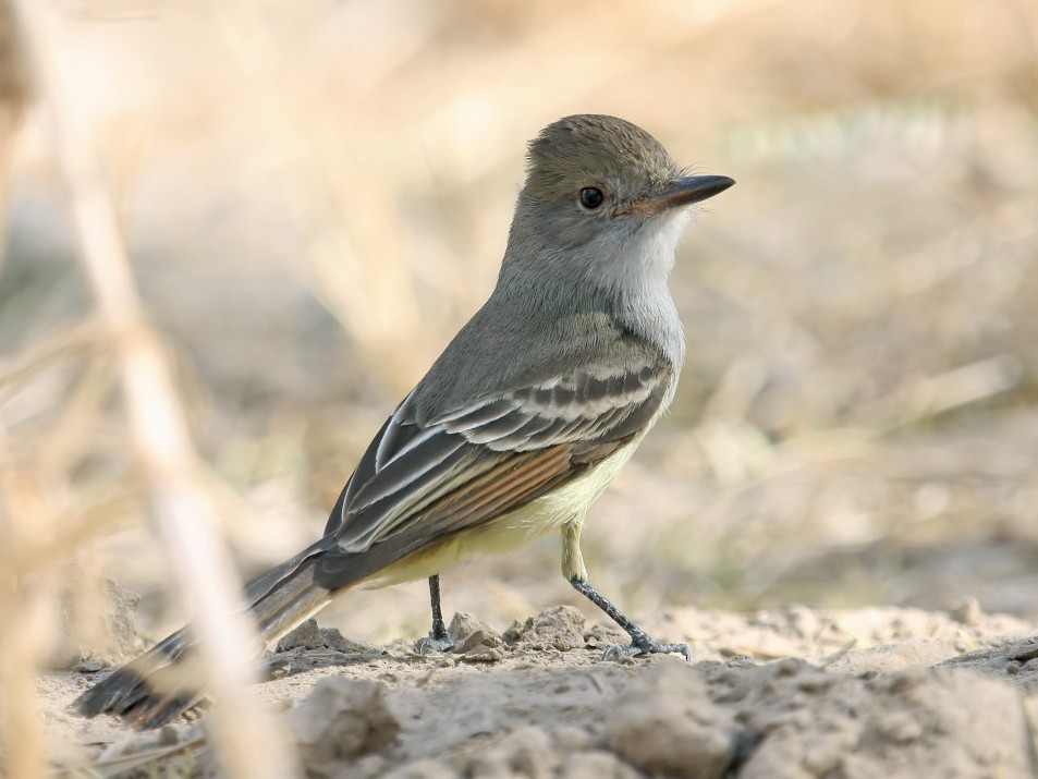 Nutting's Flycatcher - Steve Collins