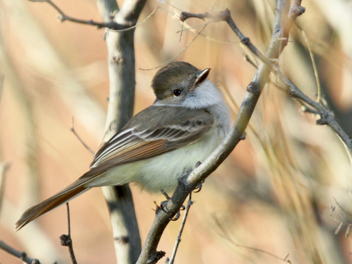 Nutting's Flycatcher - Matthew Grube