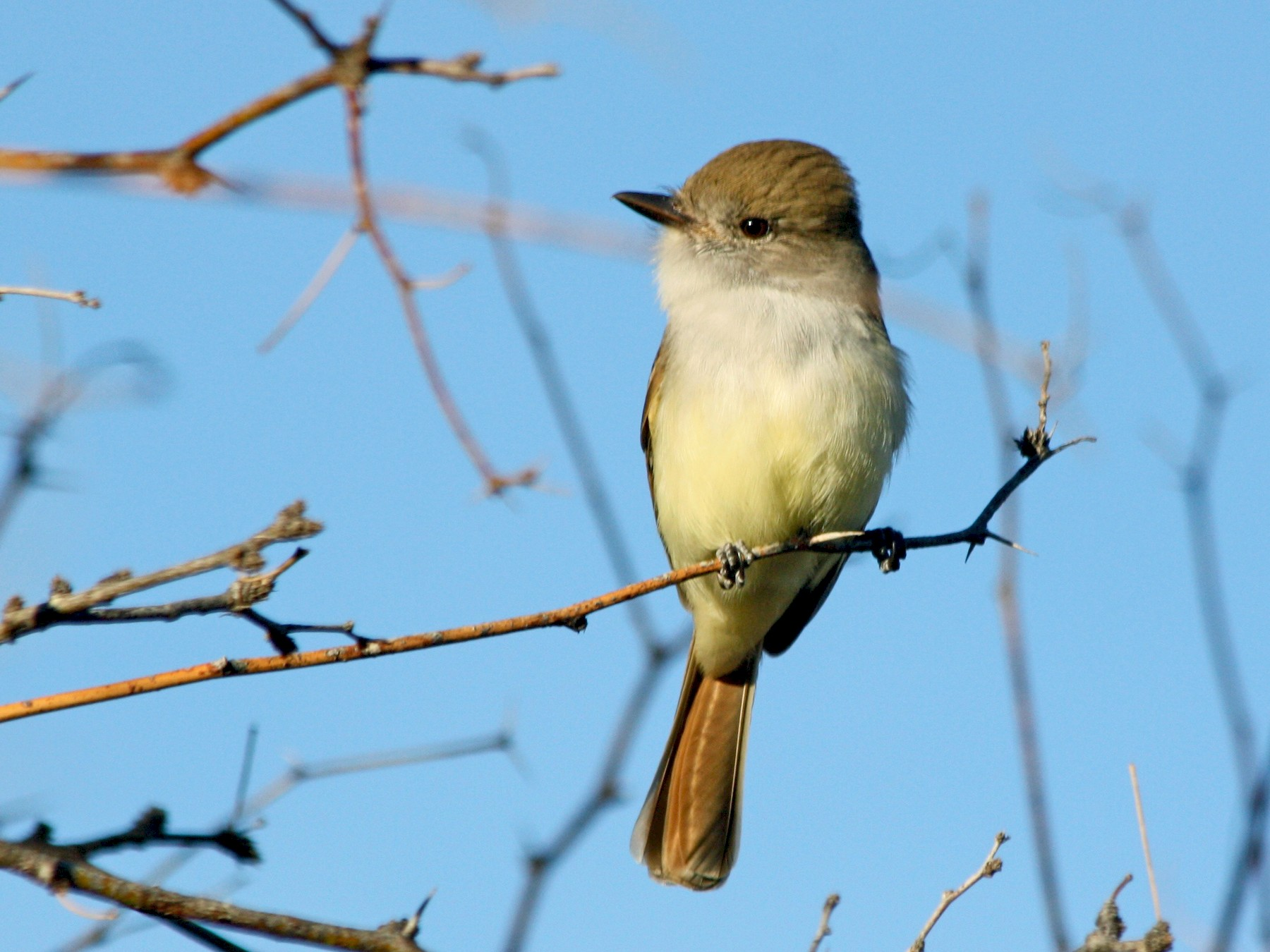 Nutting's Flycatcher - Megan Elrod