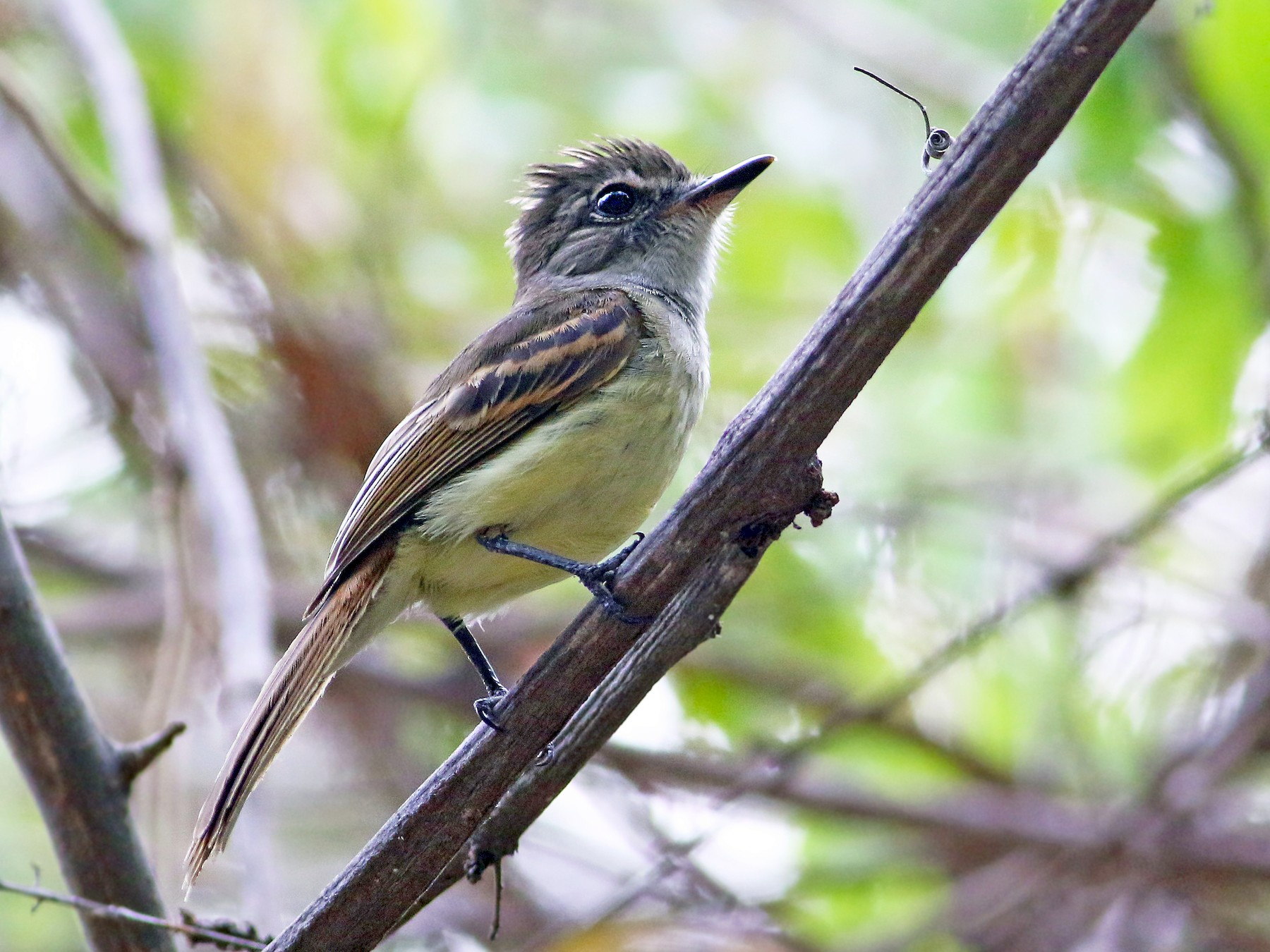 Flammulated Flycatcher - Andrew Spencer