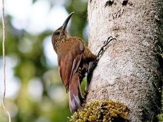 - Strong-billed Woodcreeper (Andean/Northern)