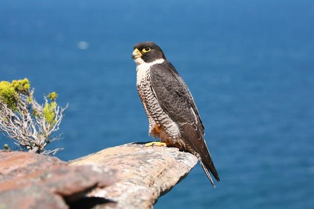 Peregrine Falcon (Australian)