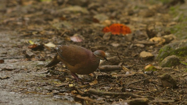 Lined Quail-Dove