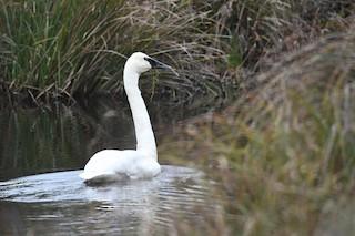 Trumpeter Swan, ML43059261