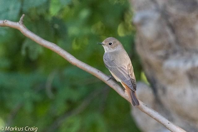 Common Redstart (Common)