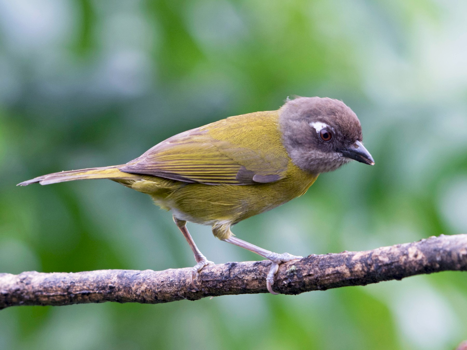 Common Chlorospingus - Matthew Bell