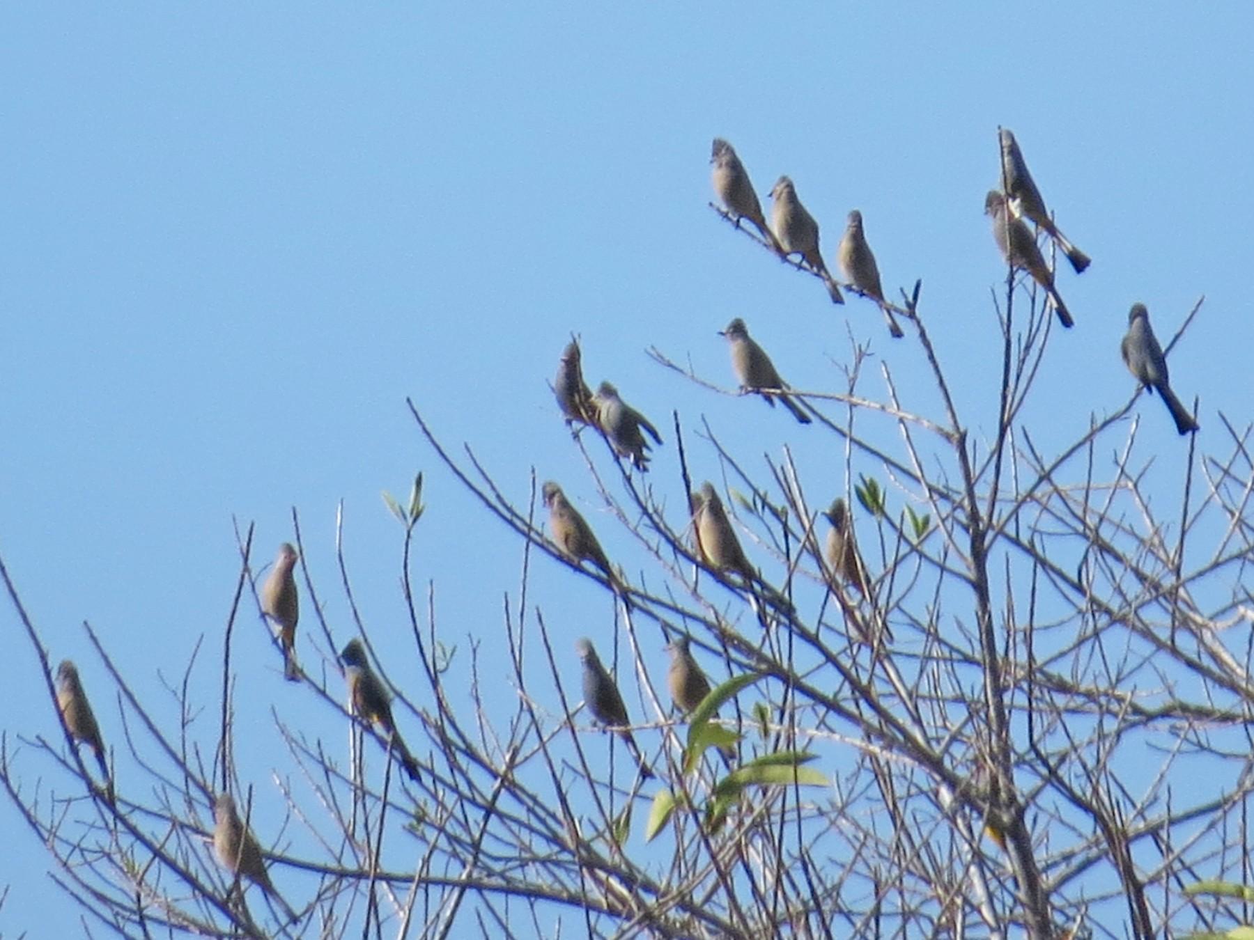 Gray Silky-flycatcher - Bryant Olsen