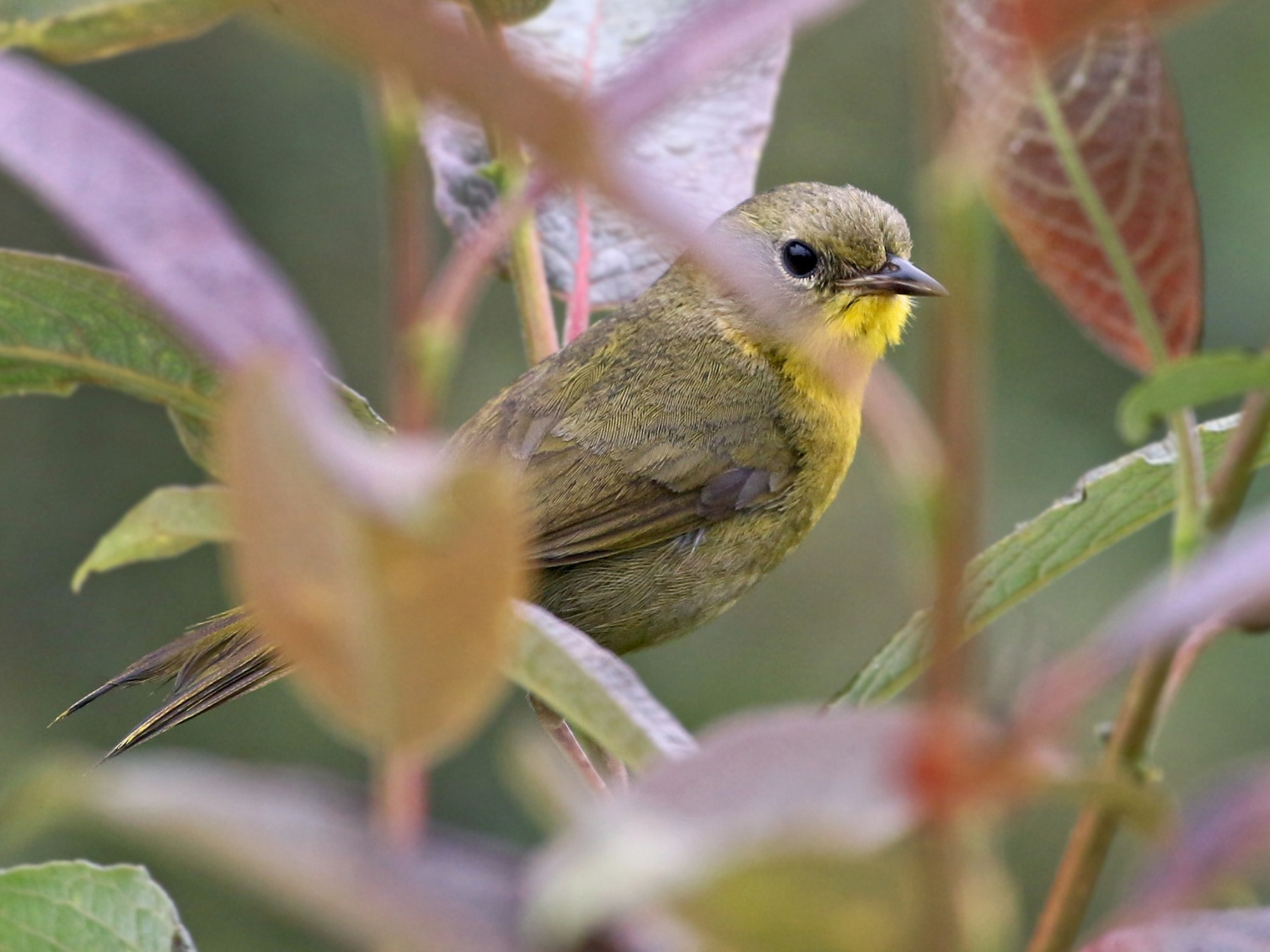 Hooded Yellowthroat - Andrew Spencer
