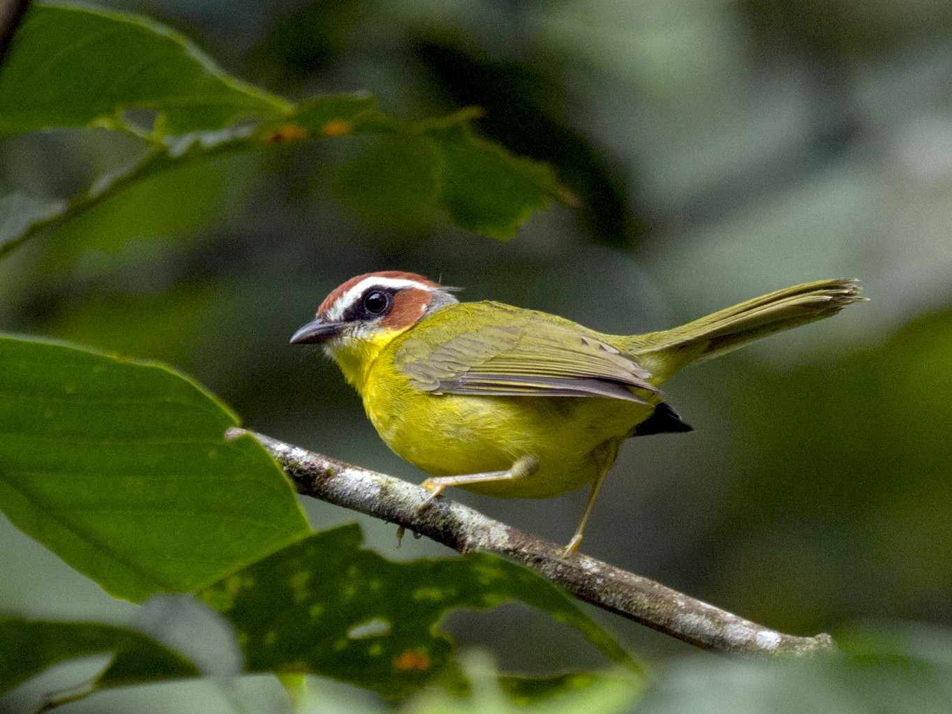 Rufous-capped Warbler - Penny Bauer