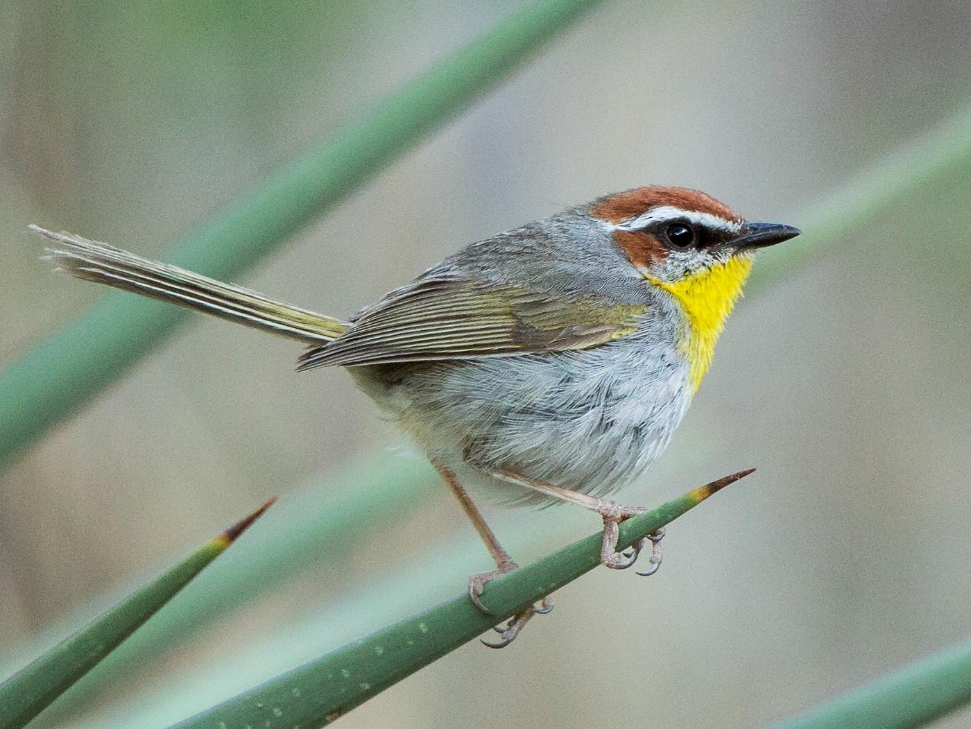 Rufous-capped Warbler - Bruce Cyganowski