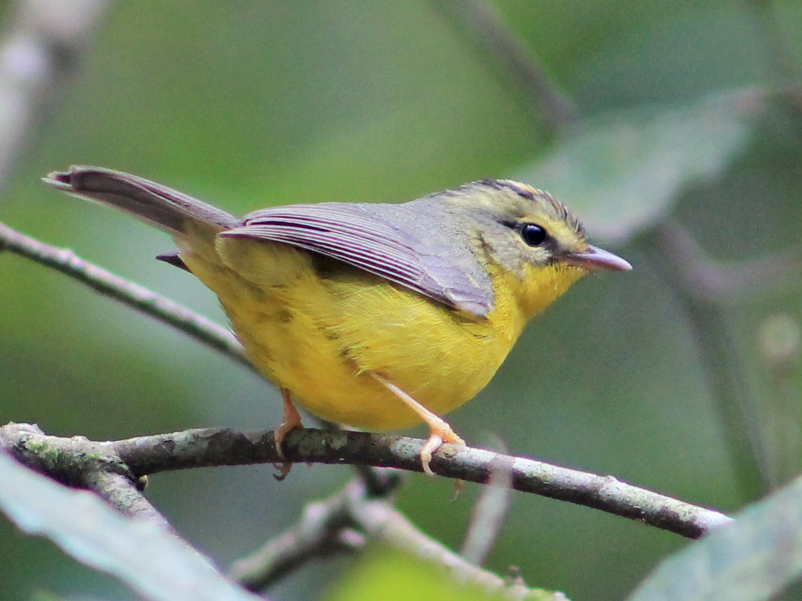 Golden-crowned Warbler - Margarita López