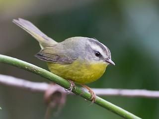 - Golden-crowned Warbler