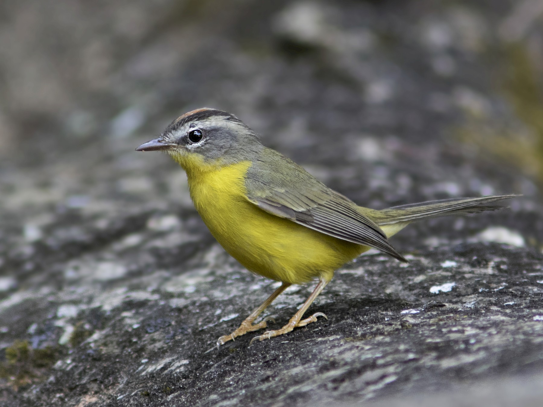 Golden-crowned Warbler - Caio Brito