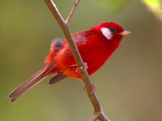 - Red Warbler