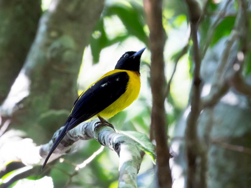 Black-throated Shrike-Tanager - Rolando Chávez