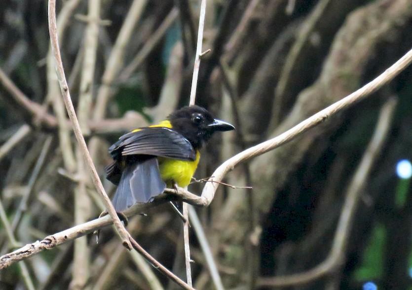 Black-throated Shrike-Tanager - Seth Inman