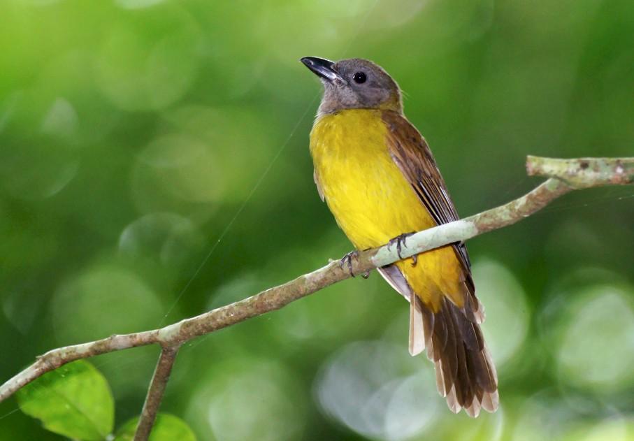 Black-throated Shrike-Tanager - David Irving