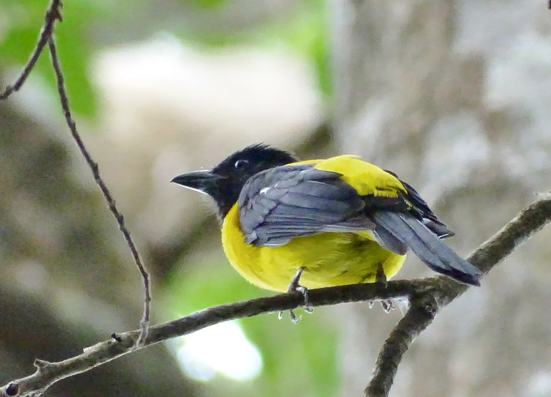 Black-throated Shrike-Tanager - Alfonso Auerbach