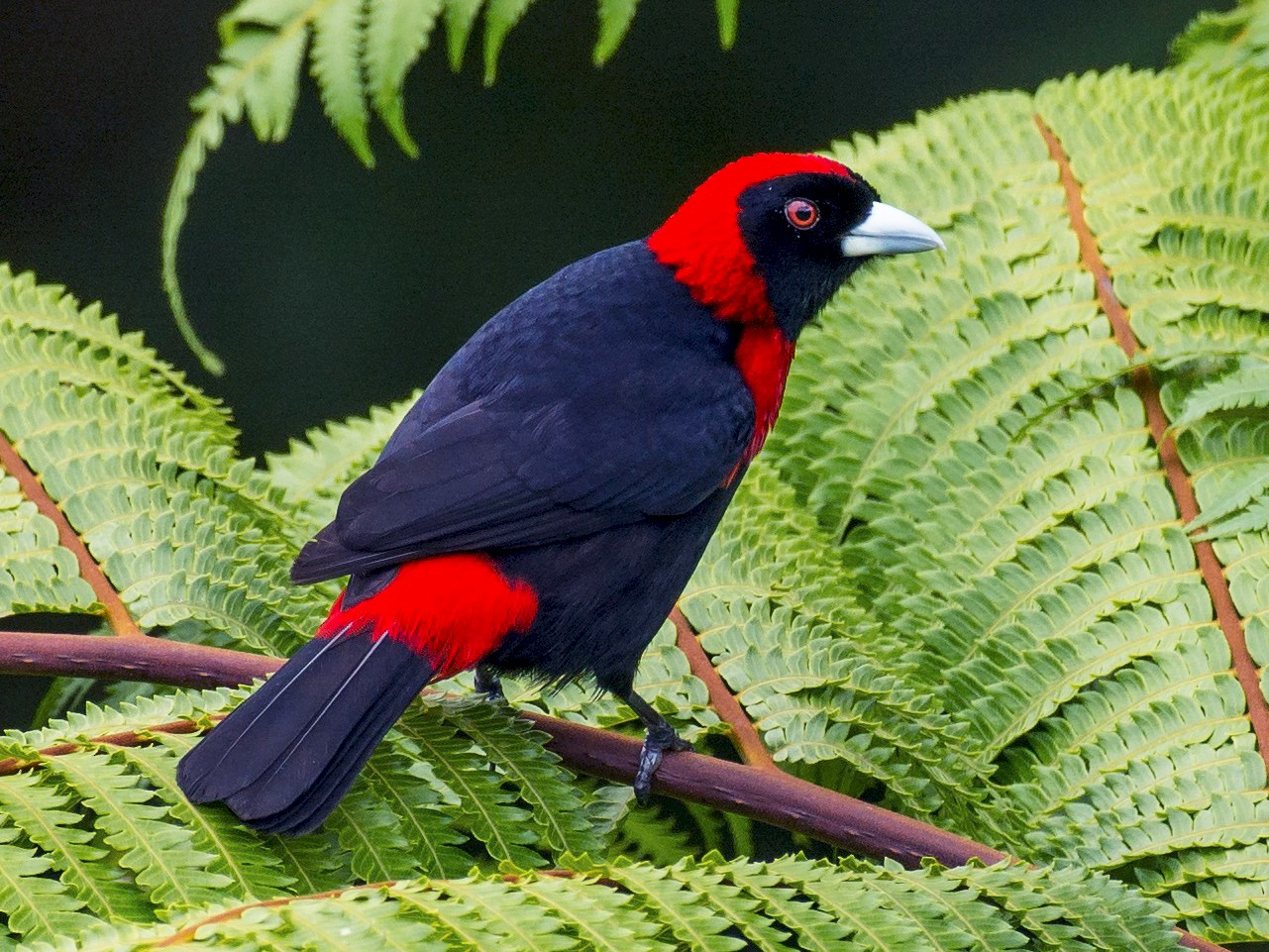 Crimson-collared Tanager - Tal Pipkin