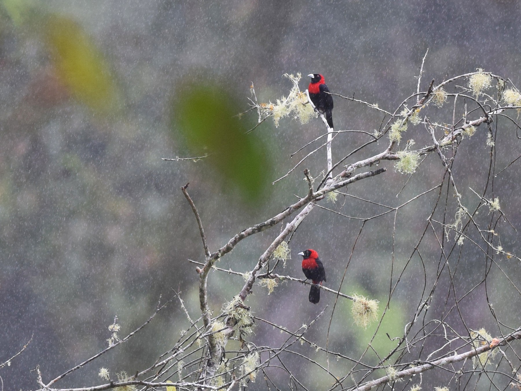 Crimson-collared Tanager - Andy Reago &  Chrissy McClarren