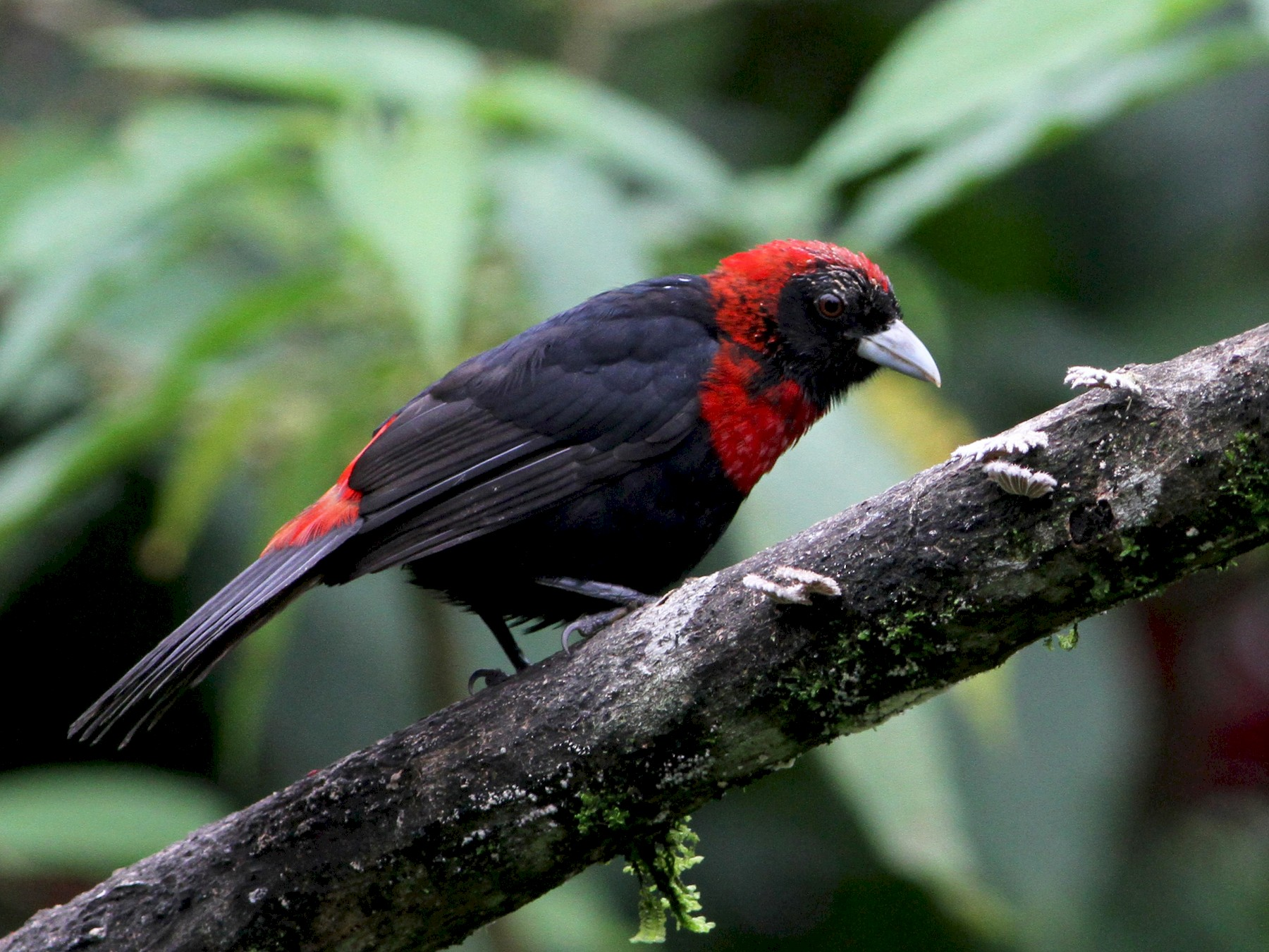 Crimson-collared Tanager - Georges Duriaux