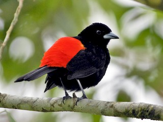 - Scarlet-rumped Tanager (Passerini's)