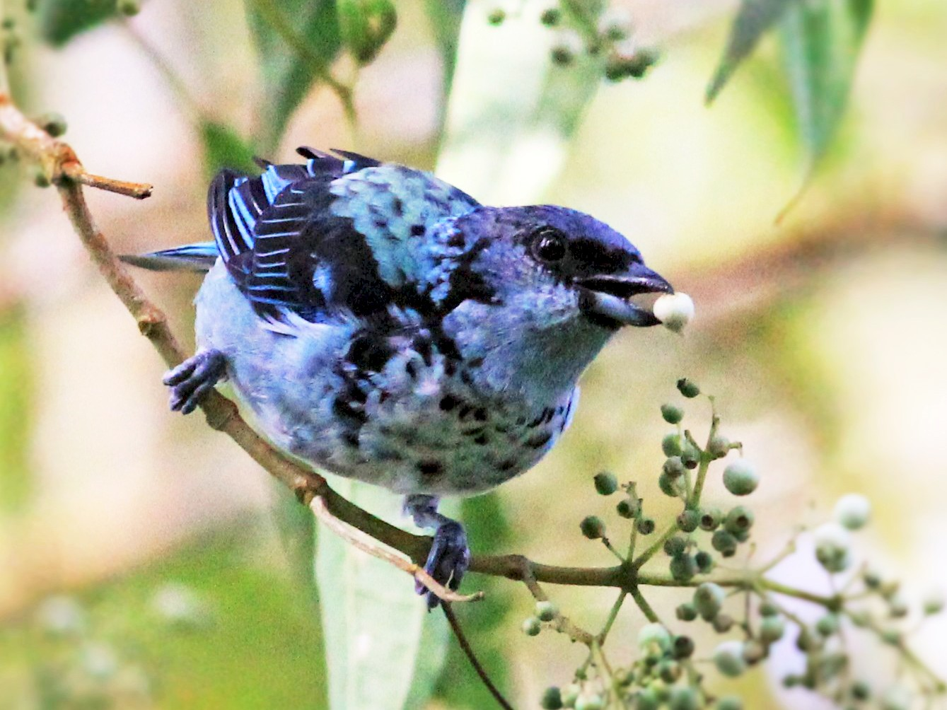 Azure-rumped Tanager - Mexico Birding TOURS (Eric Antonio Martinez)