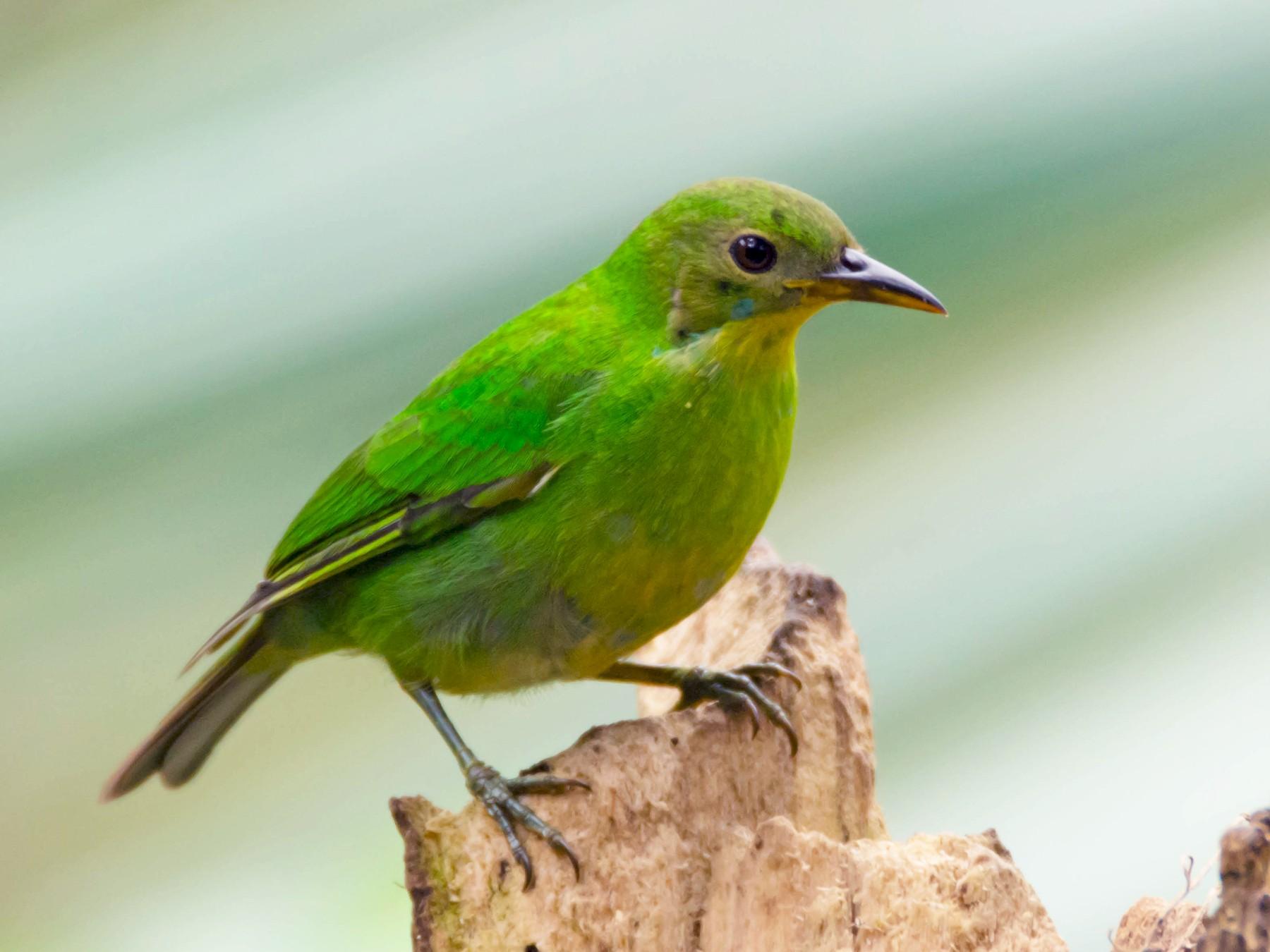 Green Honeycreeper - Juan Sebastian Moreno