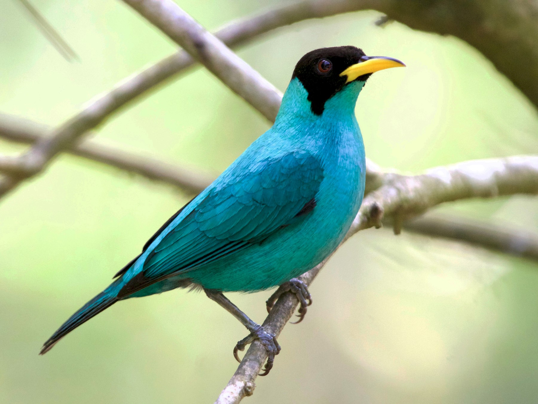Green Honeycreeper - Karl Overman