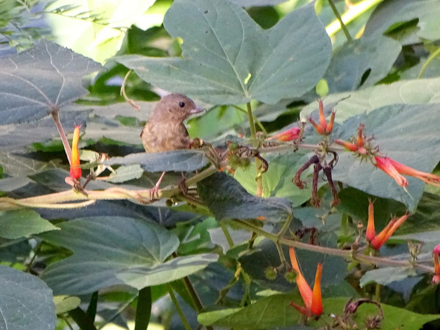 Cinnamon-bellied Flowerpiercer - Angel Fong (Go Bird Honduras)