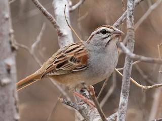 - Cinnamon-tailed Sparrow