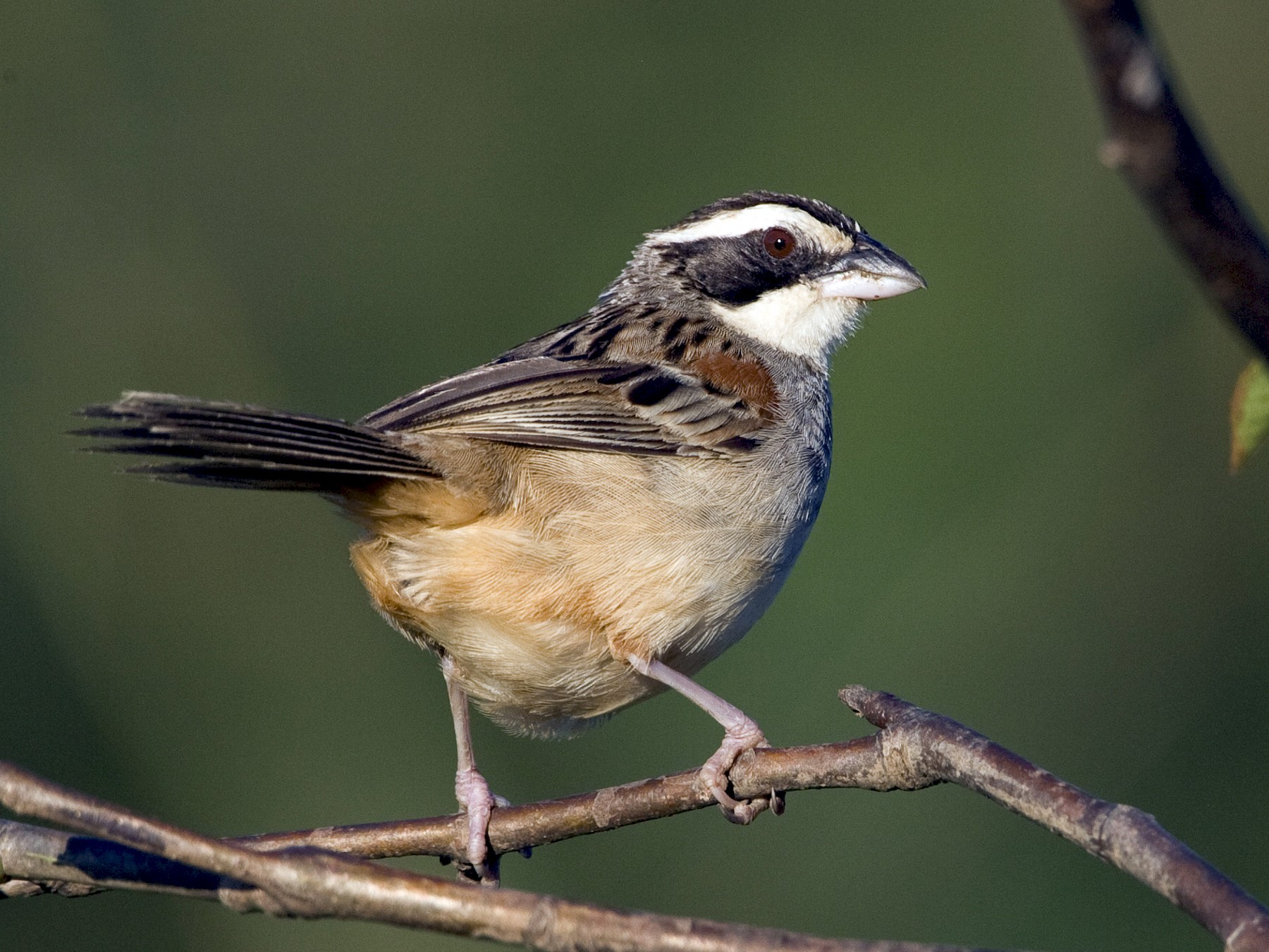 Stripe-headed Sparrow - Brian Sullivan