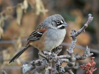- Bridled Sparrow