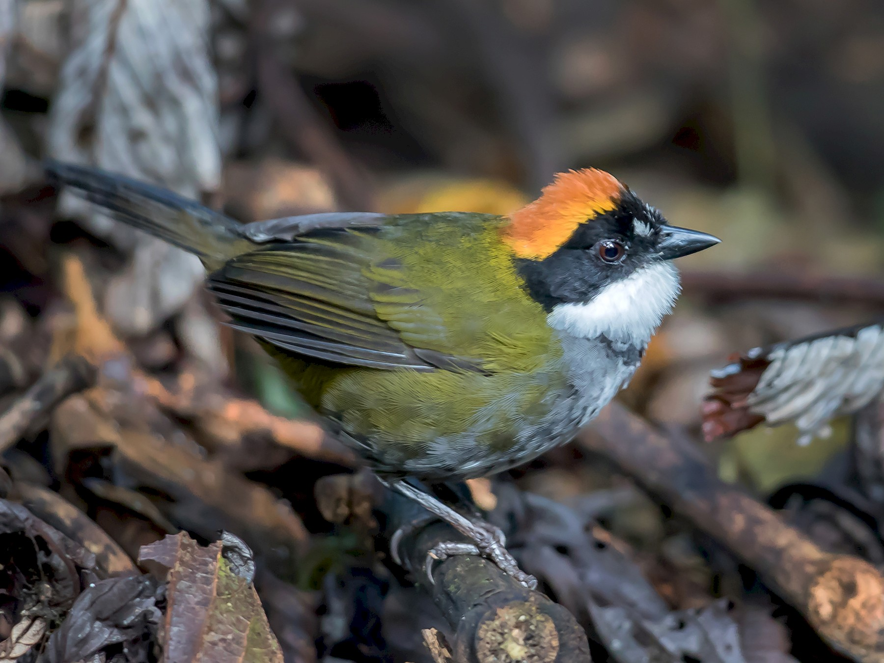 Chestnut-capped Brushfinch - Peter Hart
