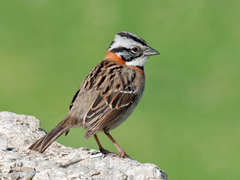 Rufous-collared Sparrow - David Krueper