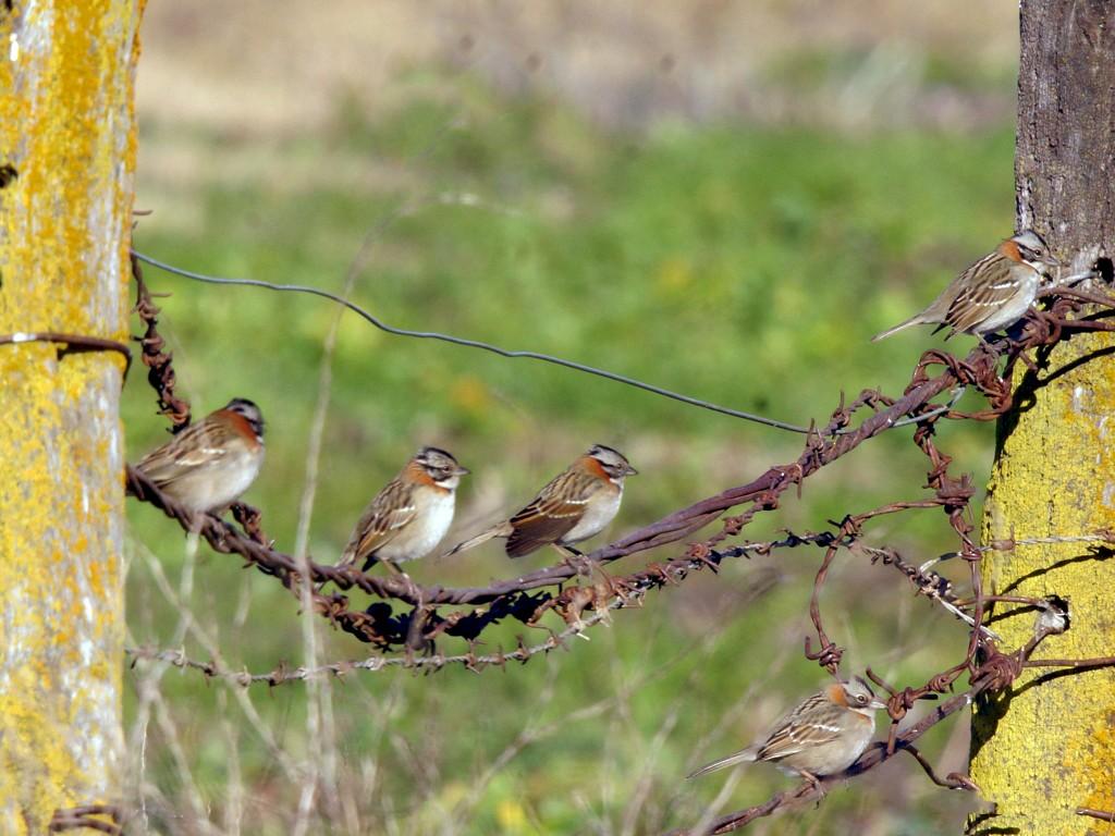Rufous-collared Sparrow - Ricardo  Doumecq Milieu