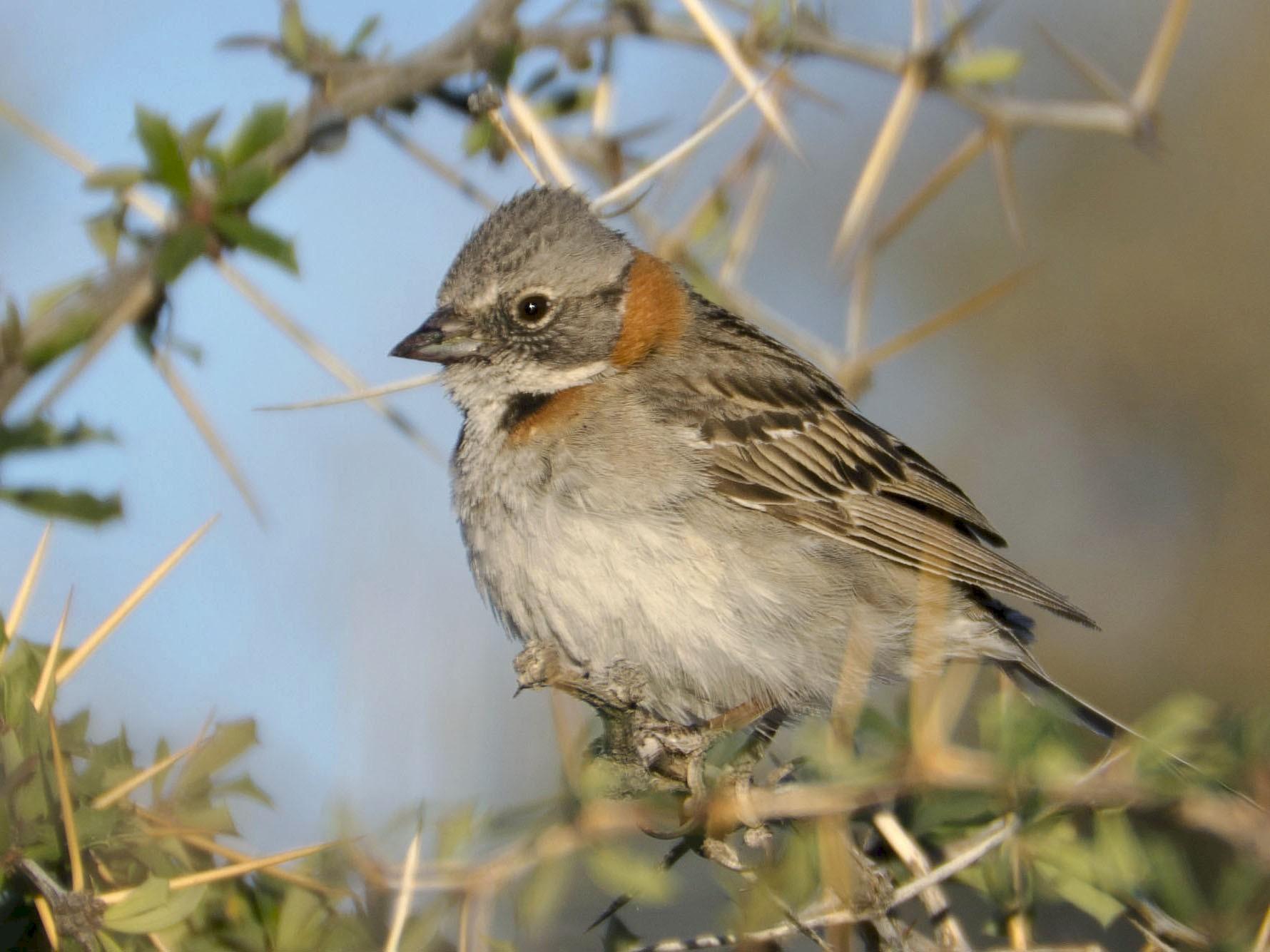 Rufous-collared Sparrow - Brian Davis