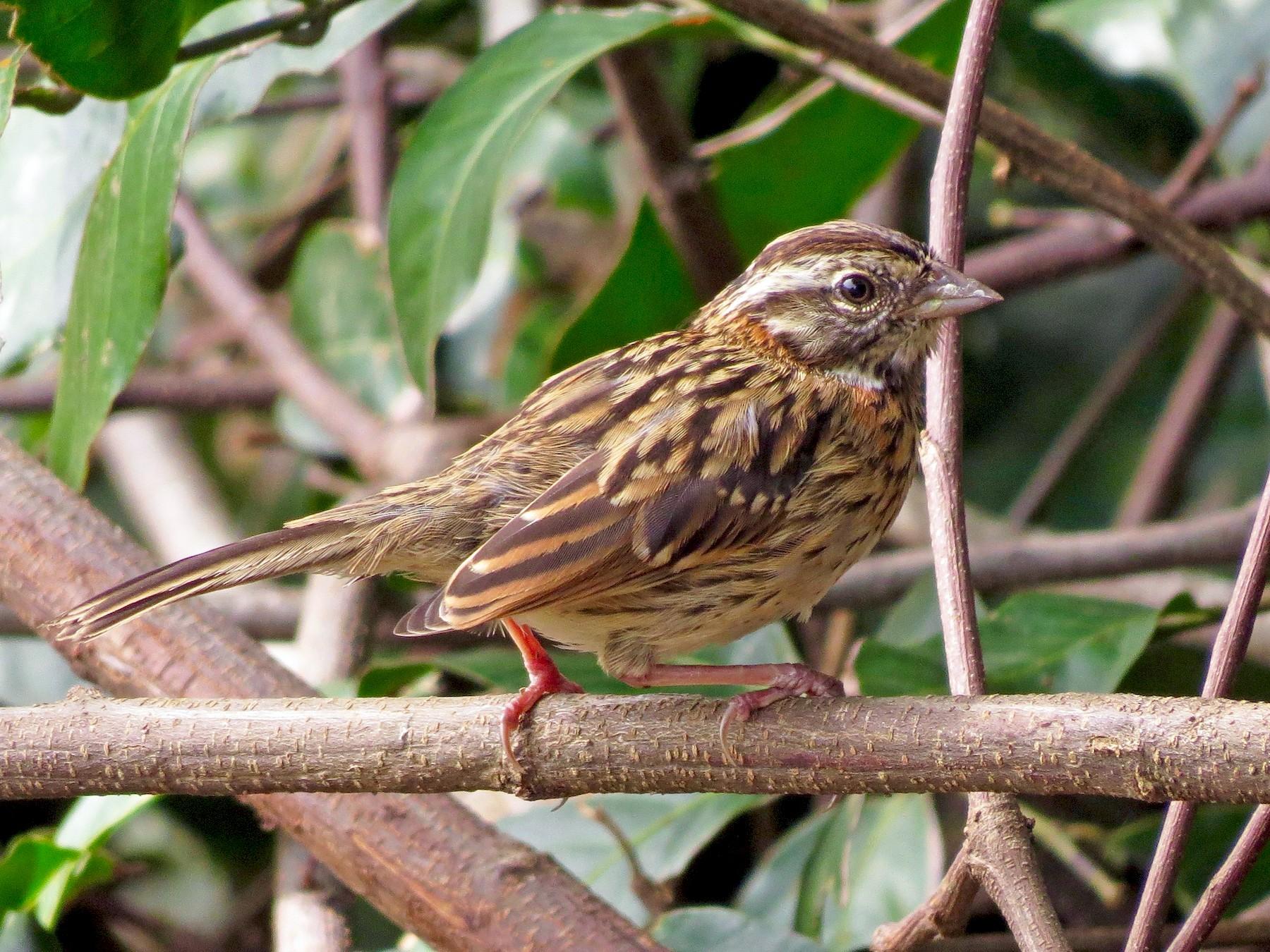 Rufous-collared Sparrow - John van Dort