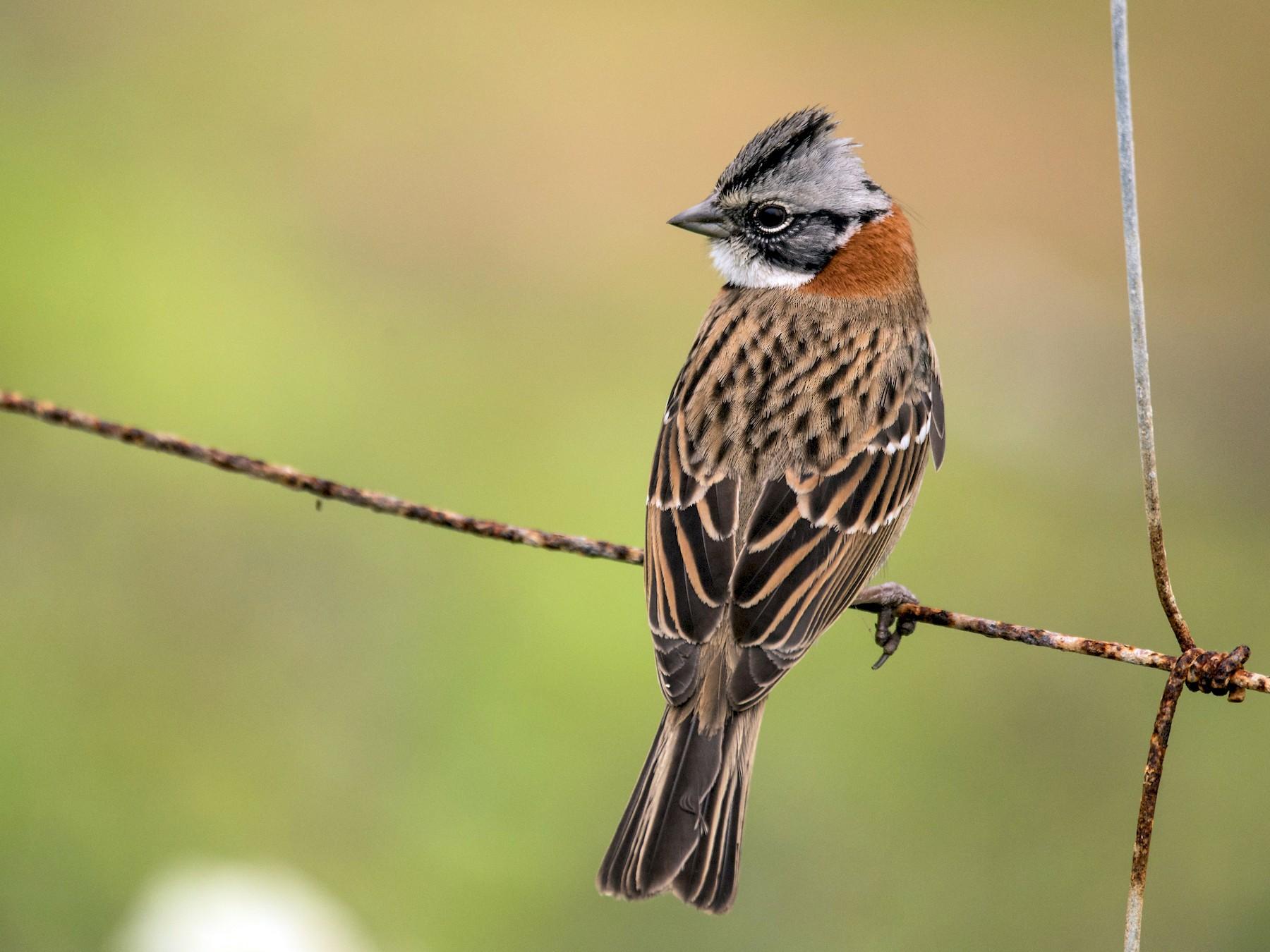 Rufous-collared Sparrow - Vicente Pantoja Maggi