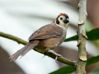 - White-faced Ground-Sparrow
