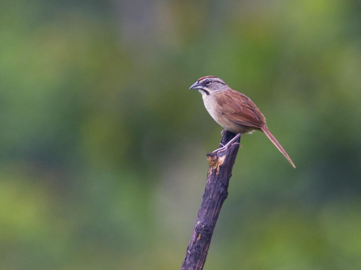 Rusty Sparrow - John Cahill xikanel.com