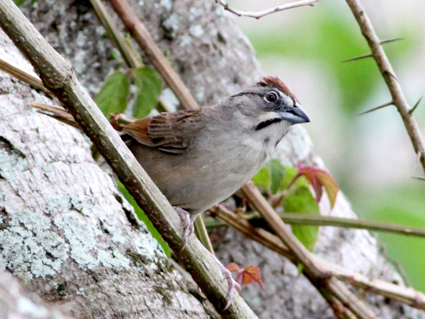 Rusty Sparrow - Georges Duriaux