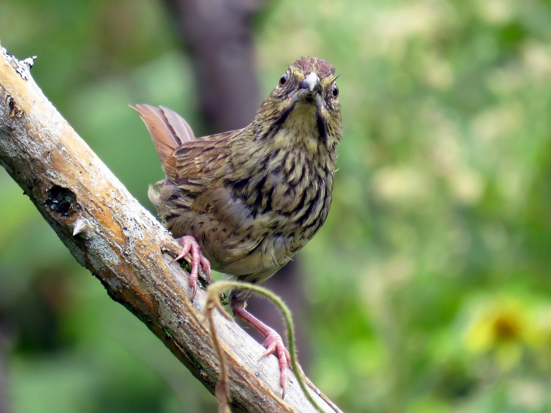 Rusty Sparrow - John van Dort